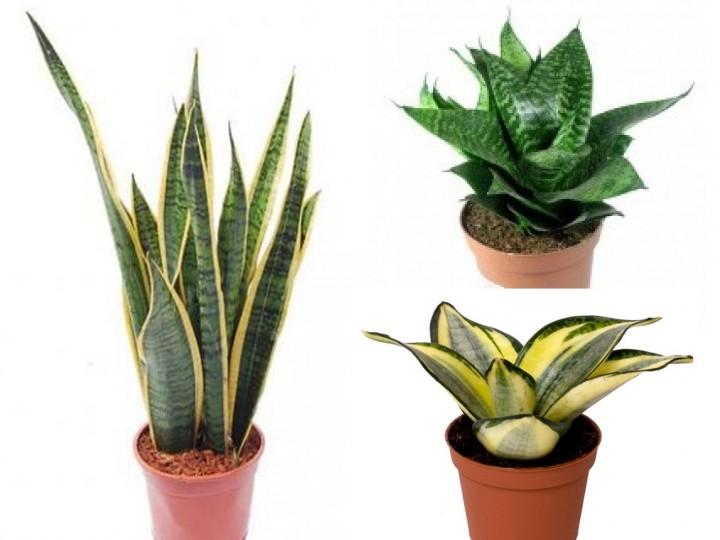 La mejor decoraci n de oficinas con plantas for Plantas de interior lengua de gato